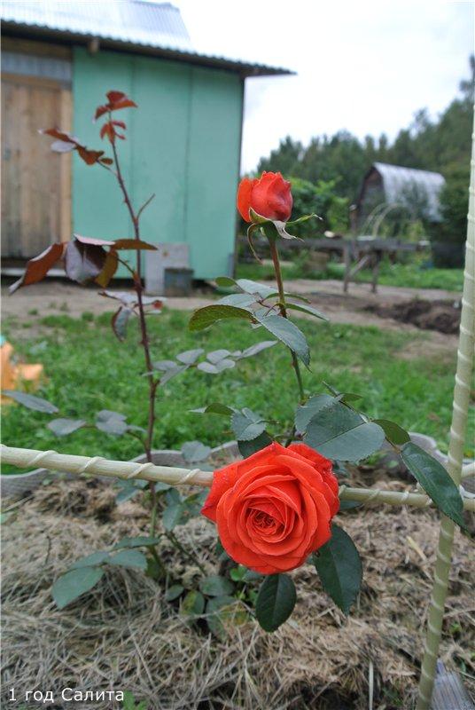 Розы-2013 005c5d5e8801