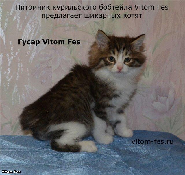 Котята Курильского бобтейла 540fc303ddb1