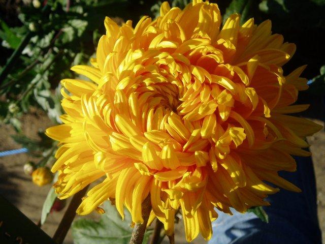 Парад хризантем в Никитском ботаническом саду. Крым  - Страница 2 02dd087058c9