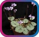 продам семена экзотических растений - Страница 3 B9a8ba9cefce