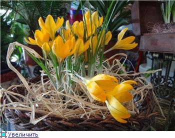 Выгонка луковичных. Тюльпаны, крокусы и др. - Страница 11 4bbb85fc39eat