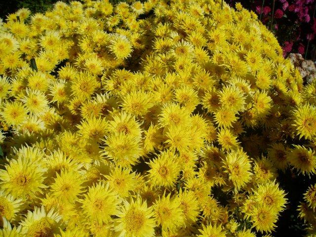 Парад хризантем в Никитском ботаническом саду. Крым  - Страница 2 4593313860fb