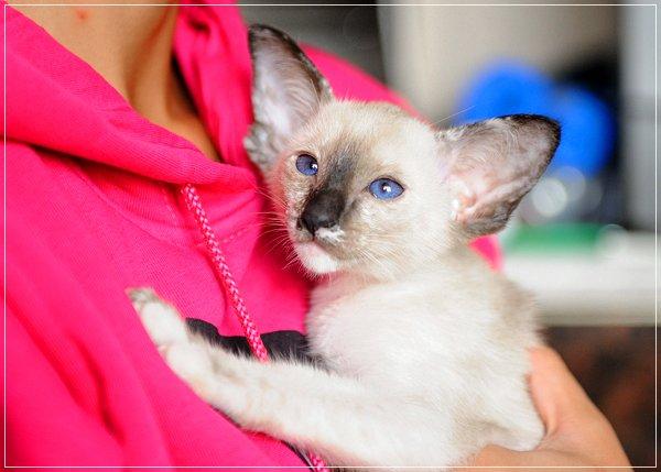 Котята Ориентальная и Сиамская 428439c12ee8