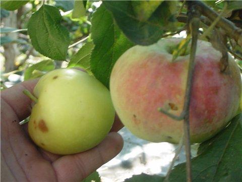 Яблоня: сорта и агротехника. - Страница 6 1b0412626fc5t