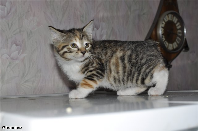 Котята Курильского бобтейла Ec7a5a96fbe9