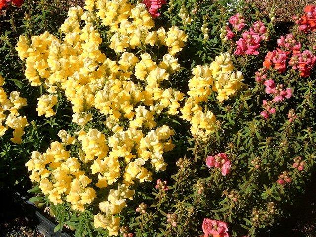 Растения, связанные с драконами 01a86ea0d0ac