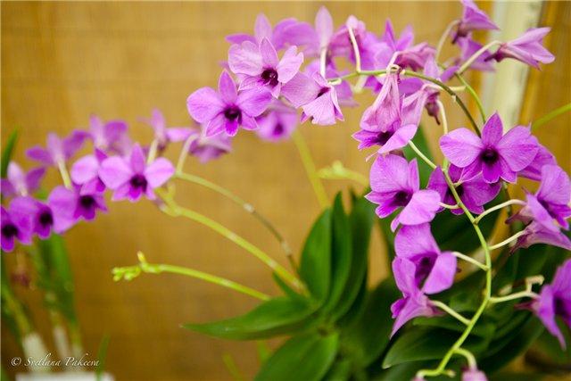 Выставка орхидей в Государственном биологическом музее им. К.А.Тимирязева 78fcfc3ed014