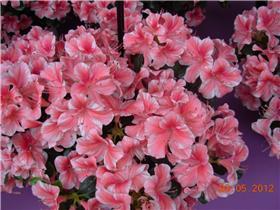 Рай тюльпанов или Кёкнхов - 2012 8d844d729880t