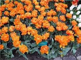 Рай тюльпанов или Кёкнхов - 2012 77478ef87591t