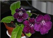 Семена глоксиний и стрептокарпусов продам 8d72b934e7b5t