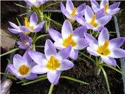 Выгонка луковичных. Тюльпаны, крокусы и др. - Страница 12 635b7b36b1fct
