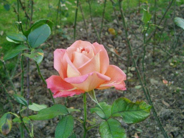 Парад хризантем в Никитском ботаническом саду. Крым  - Страница 2 7fa8473e6194