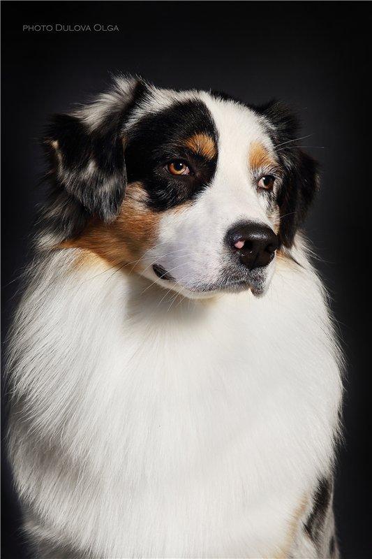 """Питомник """"Aurum Dog"""" - Страница 2 D79de150b46d"""