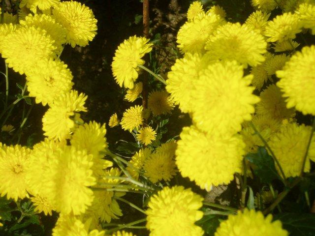 Парад хризантем в Никитском ботаническом саду. Крым  - Страница 2 A60c729890bf