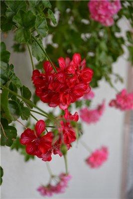 Цветы на балконе. - Страница 6 Ba431abcdb1b