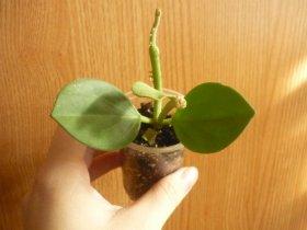 декоротивно-лиственные и красивоцветущие растения - Страница 3 856ee69c6e38
