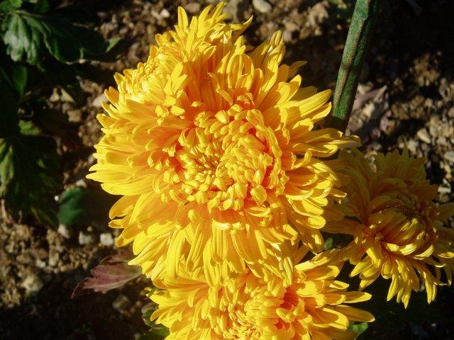 Парад хризантем в Никитском ботаническом саду. Крым  - Страница 2 84a73aafcefd