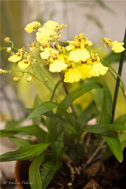 Выставка орхидей в Государственном биологическом музее им. К.А.Тимирязева F1e474992535