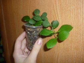 декоротивно-лиственные и красивоцветущие растения - Страница 3 9f308c7c7045