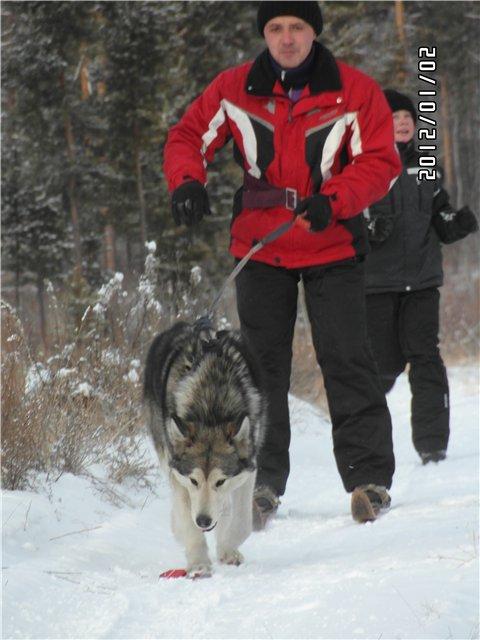 Аляскинские маламуты в Чите A7456651f611