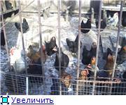 Помогите - куры перестали нести яйца. 6 месяцев ни одного яйца 18e60aa30cd2t