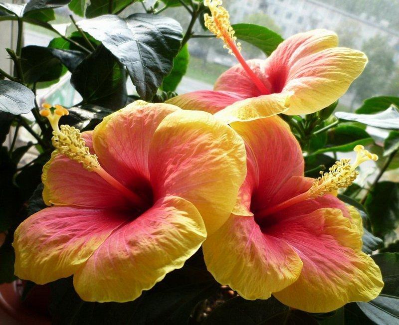 ГИБИСКУСЫ (Hibiscus rosa-sinensis Linn)  15287cfff4d2
