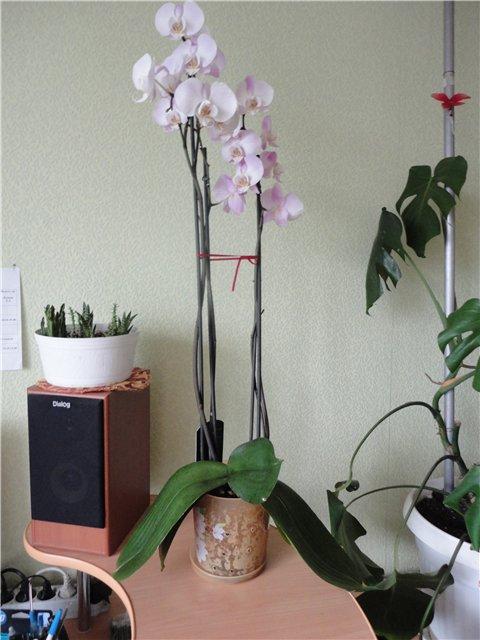 Разведение орхидей. - Страница 13 98621a3ccf04