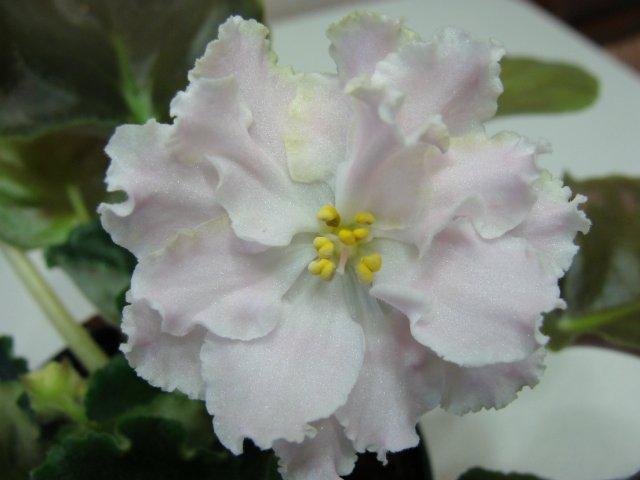 Мои цветочки - Страница 31 Ee322a38bf0f