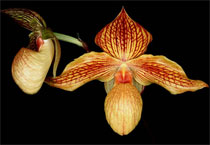 Обсуждение Орчидинна (Orchid Inn., USA) Dacae2f436af