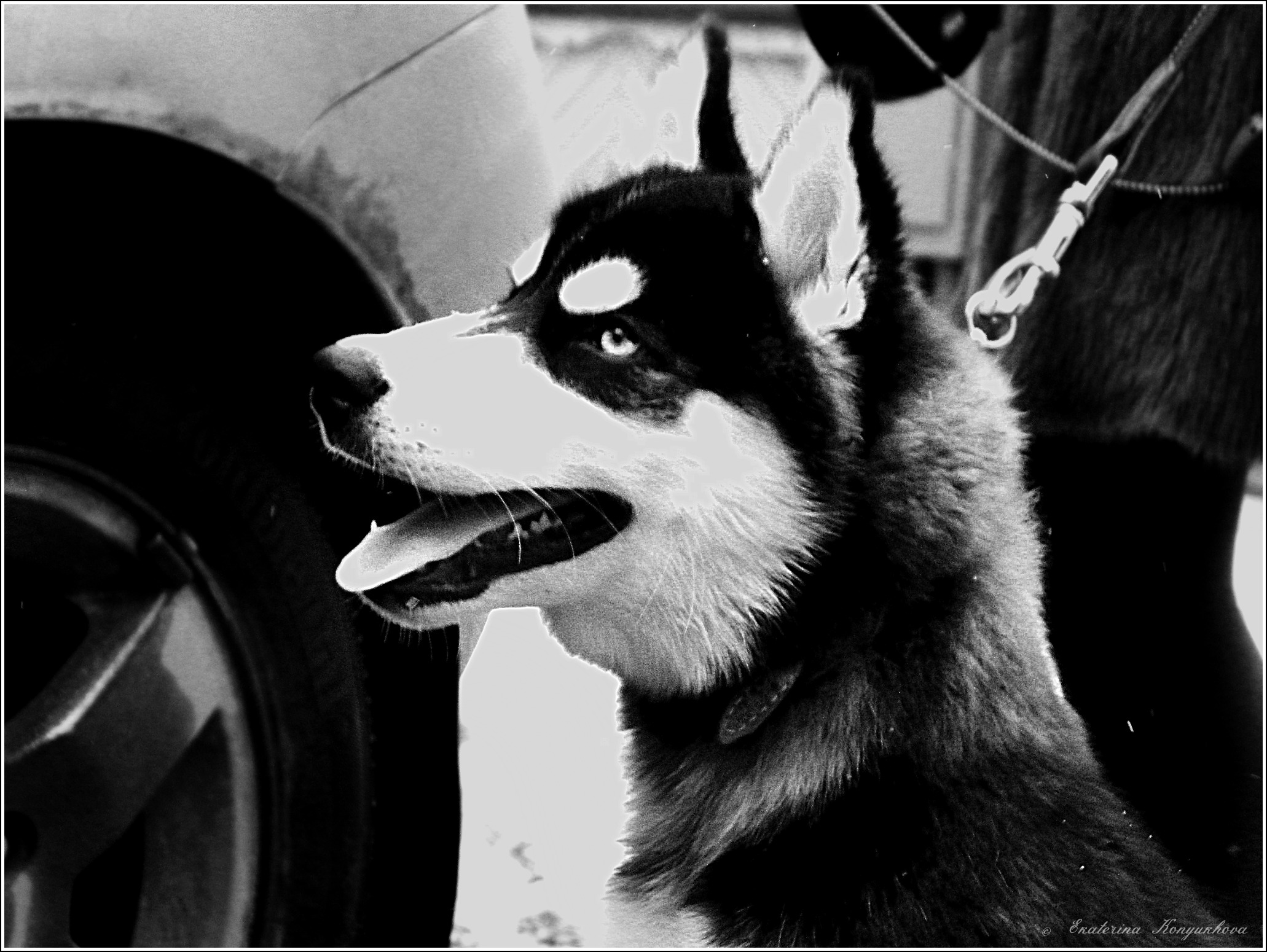 Siberian huskies in Russia. 0a16678fe867
