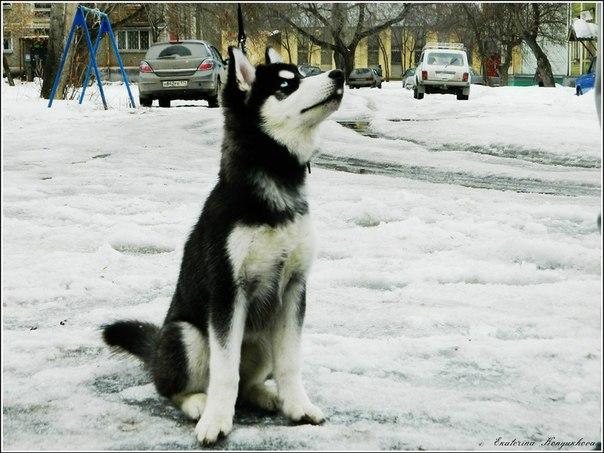 Siberian huskies in Russia. 82a3ef3cbc49