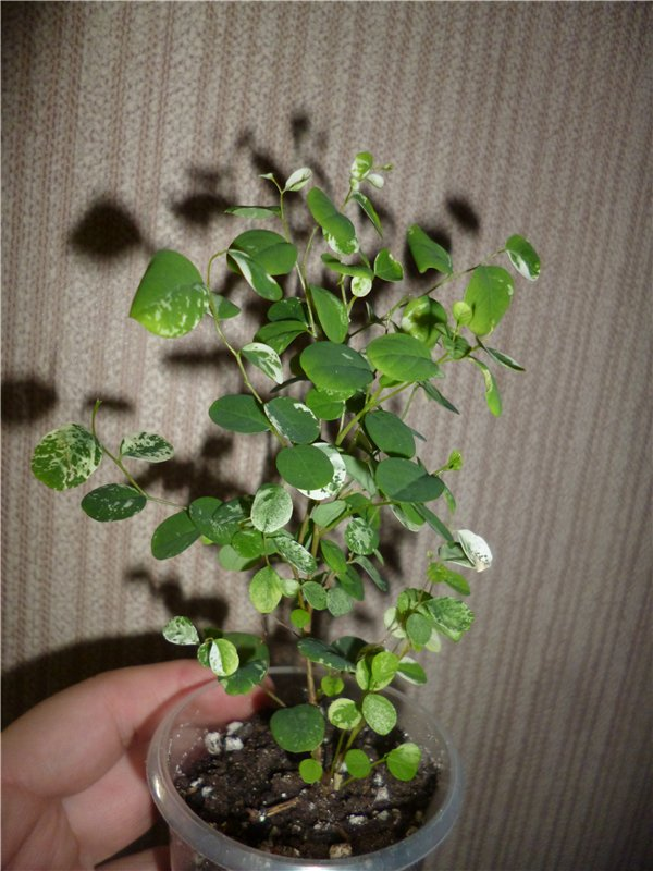 Брейния снежная (Breynia nivosa) 7d614bed0beb