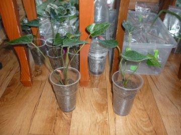 декоротивно-лиственные и красивоцветущие растения - Страница 3 Ec048733c4e0