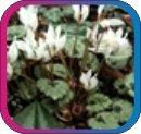 продам семена экзотических растений - Страница 3 Cc004f0d0237
