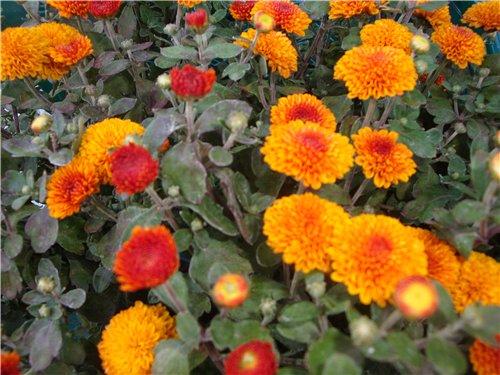 Які квіти прикрашають Ваші ґанки, підвіконня, балкони? B27b3620589a