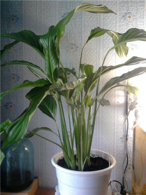 Уцененные растения из цветочных магазинов 143516073852