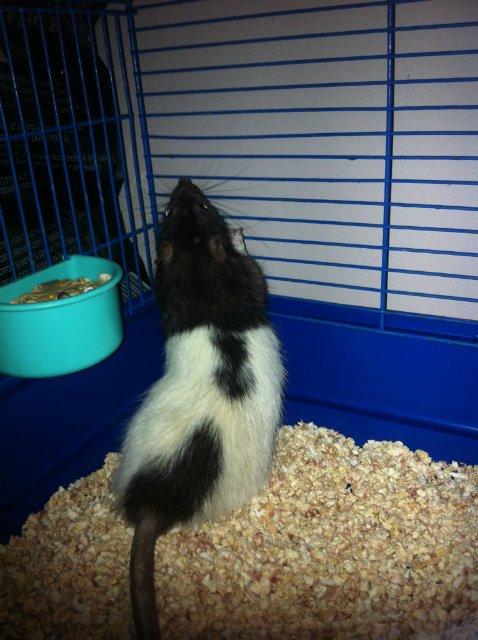 Горе-крысоводам посвещается.... история одного беззащитного существа. E1e903eaea1c