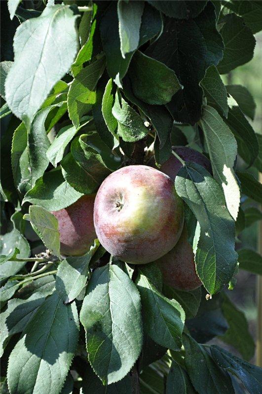 Яблоня: сорта и агротехника. - Страница 6 342abf6b3963