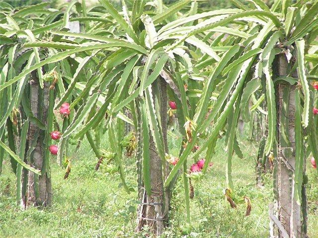 Растения, связанные с драконами 934111af6b39
