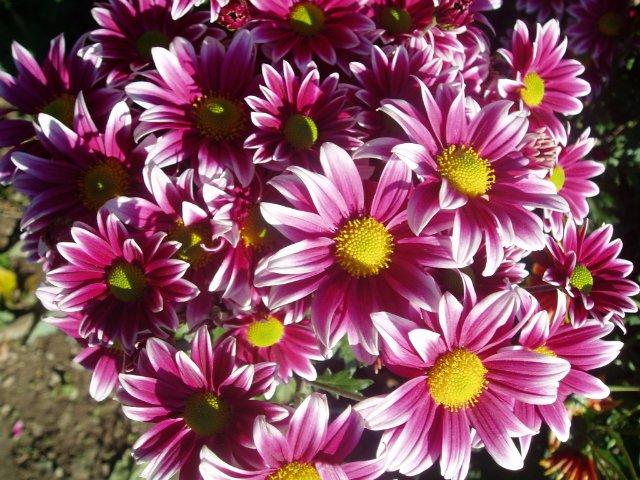 Парад хризантем в Никитском ботаническом саду. Крым  - Страница 2 40a0b00f65f1