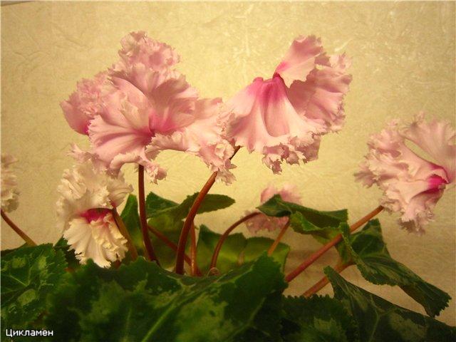 Мои цветулечки - Страница 20 De28fa205d85