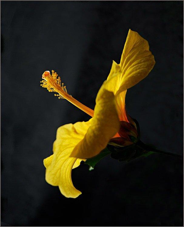 ГИБИСКУСЫ (Hibiscus rosa-sinensis Linn)  97598c781e36