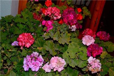 Цветы на балконе. - Страница 6 080f53861687