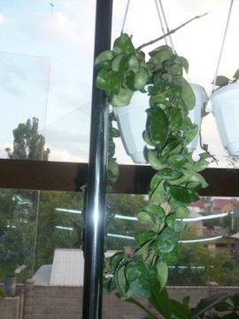 декоротивно-лиственные и красивоцветущие растения - Страница 4 D03f0c7a9af4