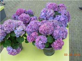 Рай тюльпанов или Кёкнхов - 2012 4cafb54f5180t