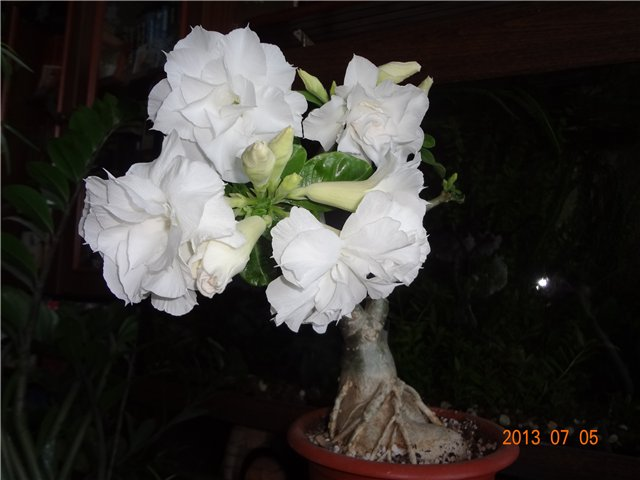 Цветение сортовых адениумов - Страница 2 64df7f788d9et