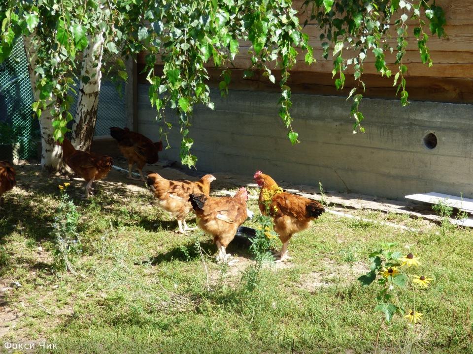 Продажа инкубационного яйца породных кур: Бресс Гальская, Ред Айленд, Карликовый Легорн, Фокси Чик 693e0c3a80d0