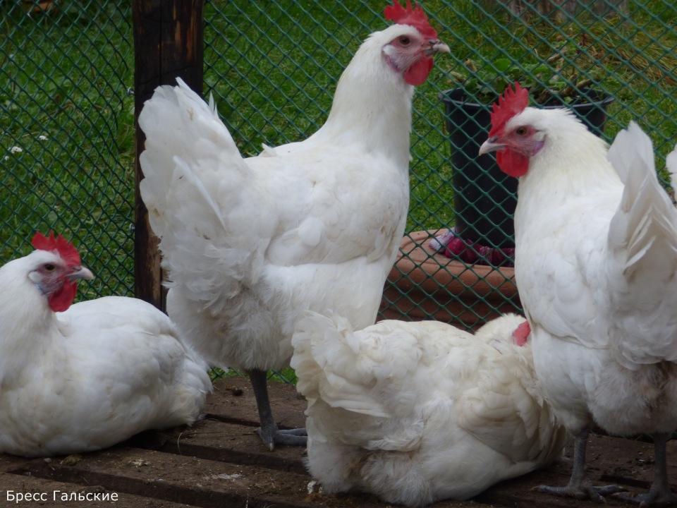 Продажа инкубационного яйца породных кур: Бресс Гальская, Ред Айленд, Карликовый Легорн, Фокси Чик B291c52202e4