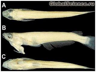Во Вьетнаме обнаружена рыба с гениталиями на голове 2686fa569fa6