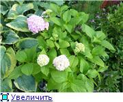 гортензии и виноград 116d261a31d5t